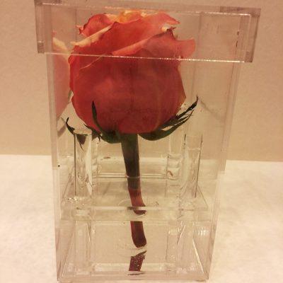 Ruža v priehľadnom boxe